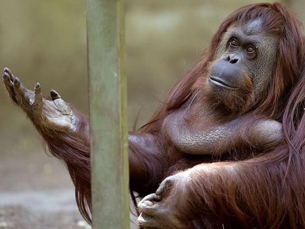 Sandra, Orangutan Pertama di Dunia yang Dapat Hak Asasi Manusia!