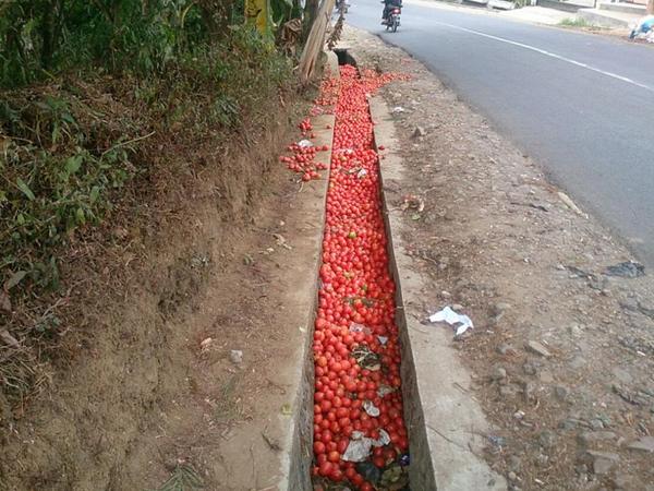 Jengkel, Petani Garut Buang 20 Ton Tomat ke Selokan