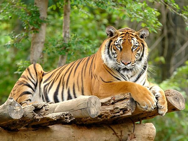 Fakta Harimau Dibunuh di Sumatera Utara yang Jadi Viral di Sosial Media