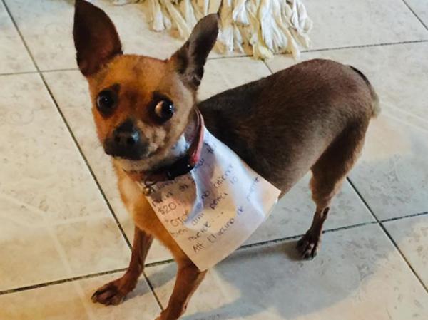 Anjing Chihuahua Ini Gantikan Majikan Belanja di Tengah Wabah Corona