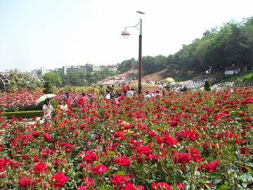 Indahnya Hamparan Berbagai Jenis Mawar di Million Rose Garden Bucheon