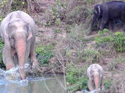 Thailand Temukan Gajah Albino Berwarna Pink
