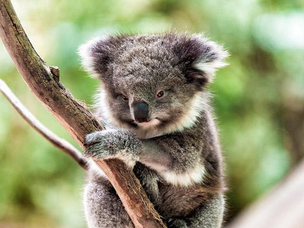 Habitat Dijajah, Lusinan Koala Australia Disuntik Mati