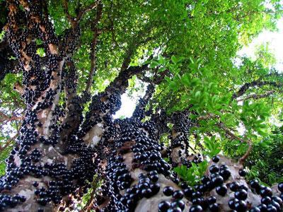 Anggur Unik, Tumbuh Diseluruh Batang Pohon