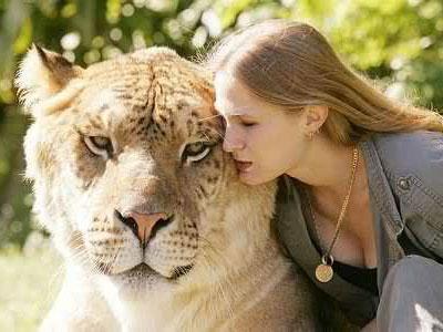 Inilah Persilangan Singa dan Harimau Terbesar di Dunia