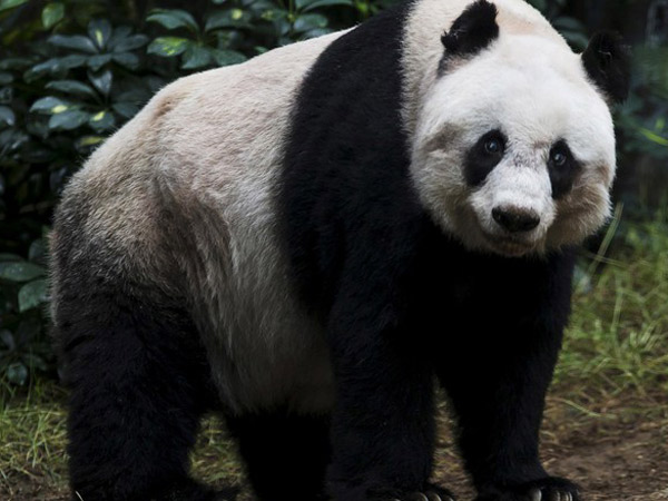 Lucu Sekaligus Ngeri, Video Pria vs Panda di China Ini Jadi Viral