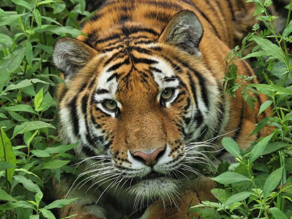Nekat Keluar Mobil di Tengah Kebun Binatang, Video Wanita Tewas Diserang Harimau Jadi Viral