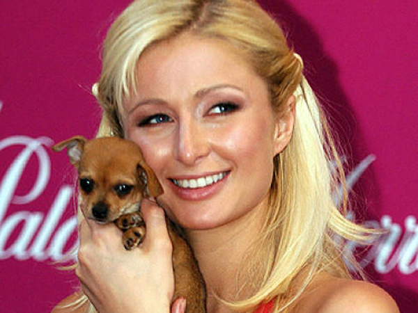 Tinkerbell, Anjing Chihuahua Fenomenal Milik Paris Hilton Mati di Usia 14 Tahun