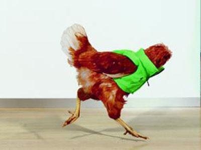 Ayam Tanpa Kepala Jadi Model Iklan Harvey Nichols