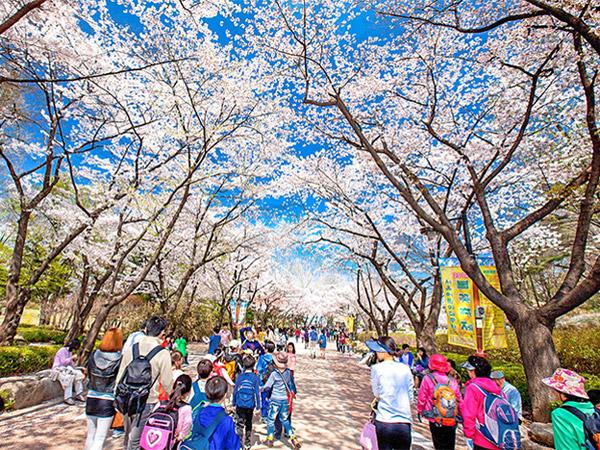 71wisata-musim-semi-korea.jpg