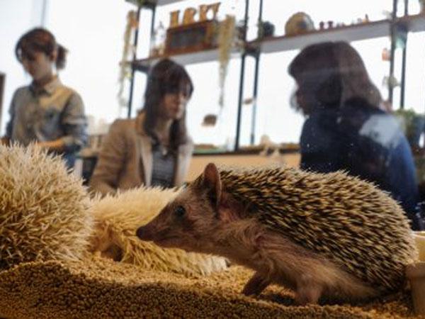 Kafe Ini Tawarkan Sensasi Makan Sambil Bermain dengan Landak