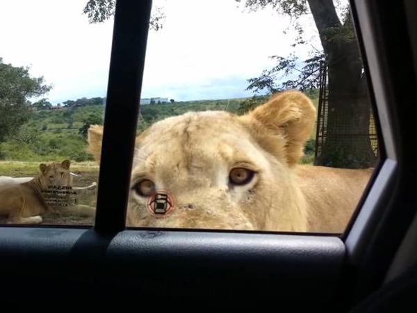 Mengagetkan, Ternyata Seekor Singa Bisa Membuka Pintu Mobil!