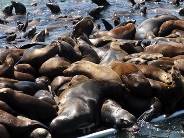 Beri Pemandangan Menyedihkan, Ini Penyebab Ratusan Anjing Laut Mati Terdampar di Laut