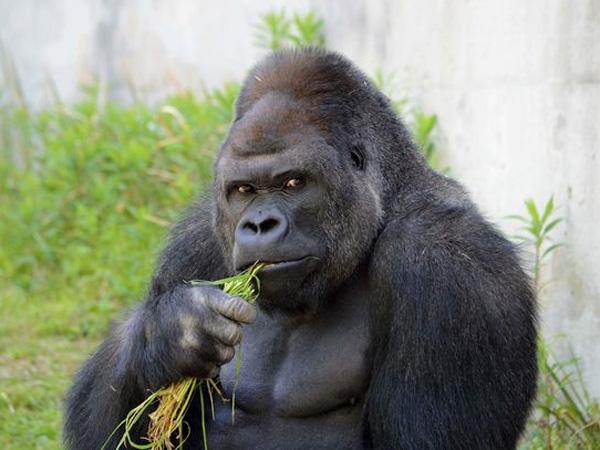 Gorilla Tampan Ini Buat Para Wanita di Jepang Tergila-gila!