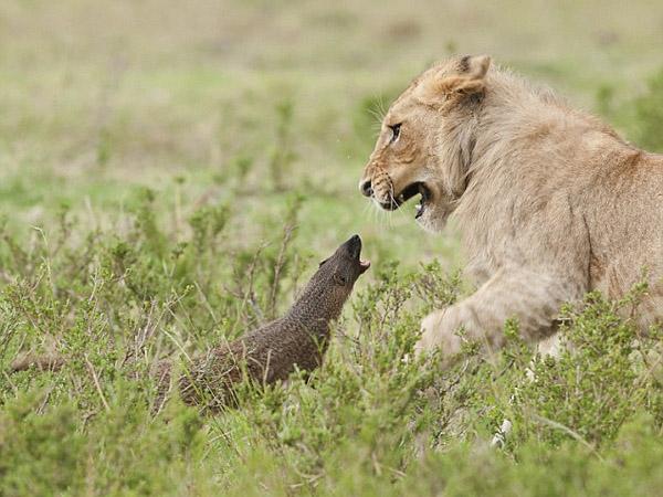 Wow, Luwak Mini Ini Buat Empat Singa di Padang Rumput Lari Ketakutan!
