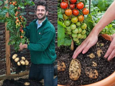 Unik, Bisa Petik Tomat dan Kentang Langsung Di Satu Pohon!