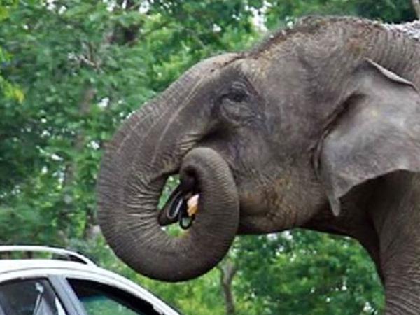 Kelaparan, Gajah Ini 'Masuk' Mobil dan Makan Tas Perhiasan Pengunjung Kebun Binatang!