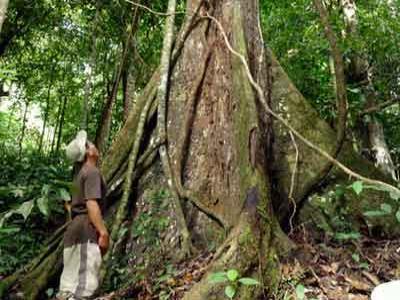 Wow Pohon Punah Ditemukan Lagi di Riau