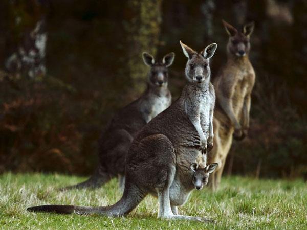 Kering 100 Persen, Australia Izinkan Warga Tembak Kanguru Liar