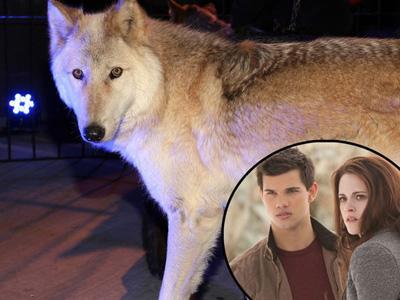 Gunakan Serigala Hidup, Premier Breaking Dawn 2 Tuai Kritik