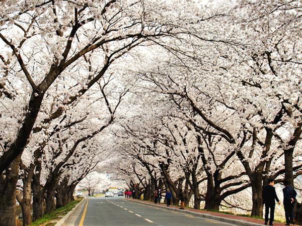 'Lahap' Semua Lokasi Penuh Cherry Blossom Khas Musim Semi di Seoul