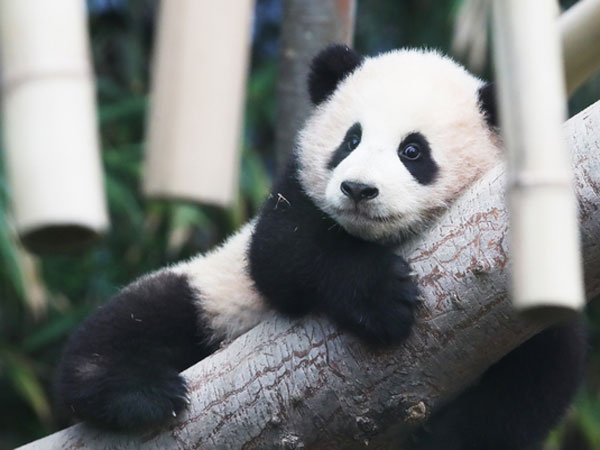 Everland Korea Debutkan Bayi Panda Menggemaskan untuk Pertama Kalinya