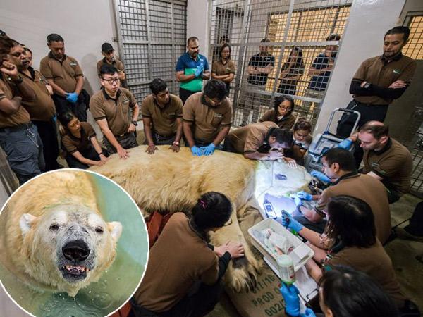 Kisah Haru Beruang Kutub Tropis Pertama yang Berakhir Disuntik Mati, 'Singa-polar Bear' Inuka