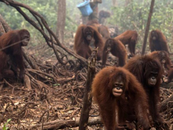 Tak Hanya Warga, Belasan Orangutan Juga Terkena ISPA Akibat Kabut Asap