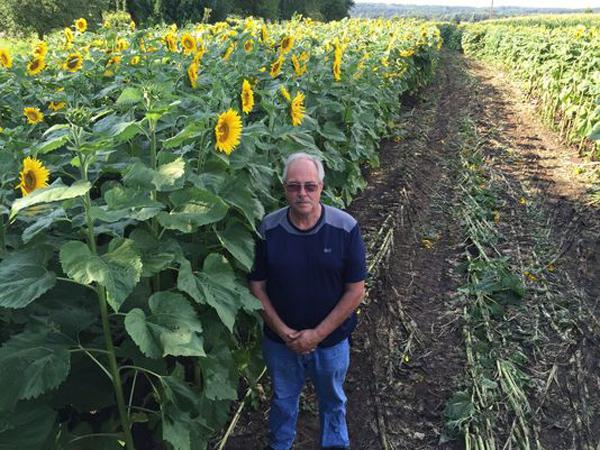 Kenang Mendiang Istri, Pria Ini Tanam Bunga Matahari Sepanjang 7 Kilometer