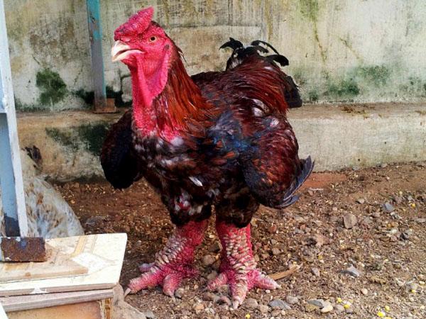 Wow, Ayam Langka Berkaki 'Gajah' Ini Dijual Hingga Puluhan Juta Rupiah!