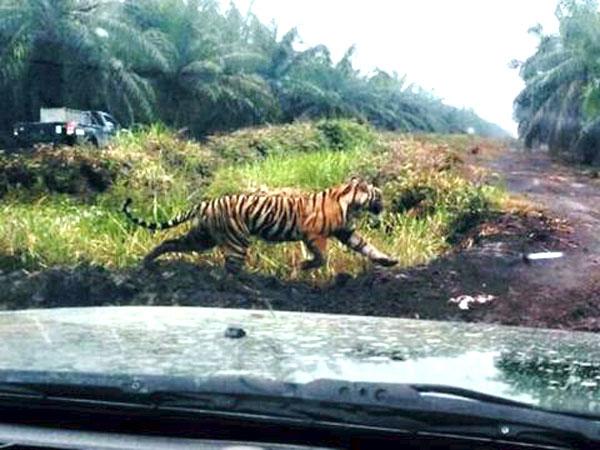 Alasan Warga Justru Dihimbau Pakai Topeng untuk Hadapi Harimau Pemangsa Manusia, Bonita