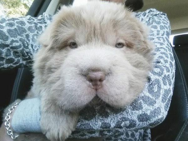 Yuk Kenalan dengan 'Tonkey', Anjing Lucu Berwajah Mirip Beruang