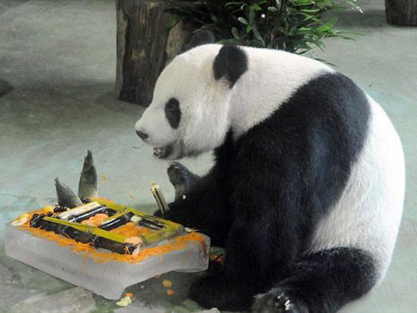 Ingin Hidup Enak, Panda Ini Pura-pura Hamil