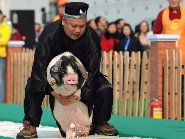 Sambut Imlek, Pengusaha Ini Berikan Babi Hidup Sebagai Bonus Tahunan