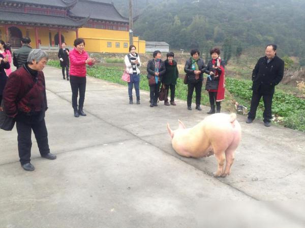 Wah, Babi Ini Terlihat Bersujud di Depan Kuil Sebelum Disembelih
