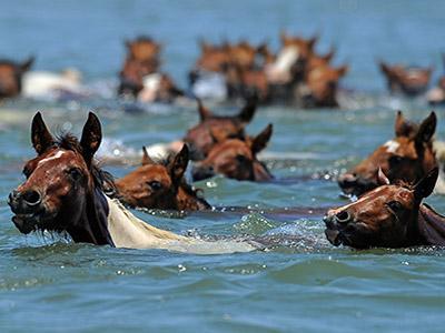 Lucunya! 150 Kuda Poni Berenang di Pantai Virginia