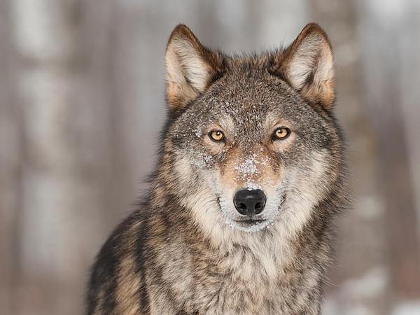 Segerombolan Serigala Turun ke Taman Kota Israel, Ada Apa?