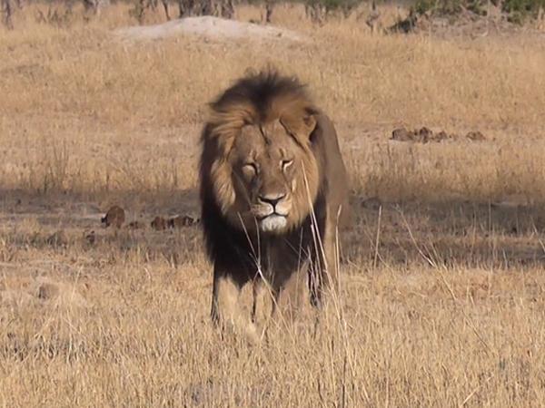 Bunuh Singa Paling Populer di Zimbabwe, Dokter Gigi Ini Dikecam