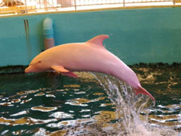 Unik, Lumba-lumba Albino Ini Berubah Pink Saat Marah!