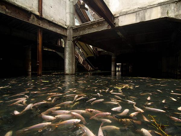 Wow, Ribuan Ikan Ini Huni Gedung Bekas!