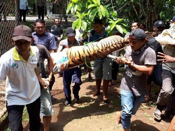 Momen Dramatis 2 Harimau di Kebun Binatang Semarang Lepas dari Kandang