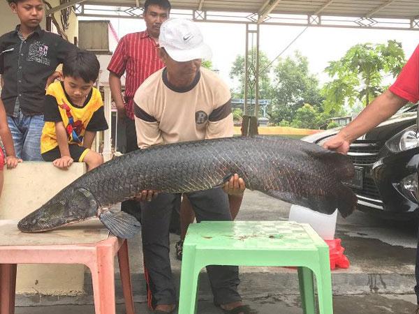 Walaupun Berbahaya, Daging Ikan Arapaima Memiliki Rasa Yang Enak dan Mengandung Kolagen Tinggi Loh