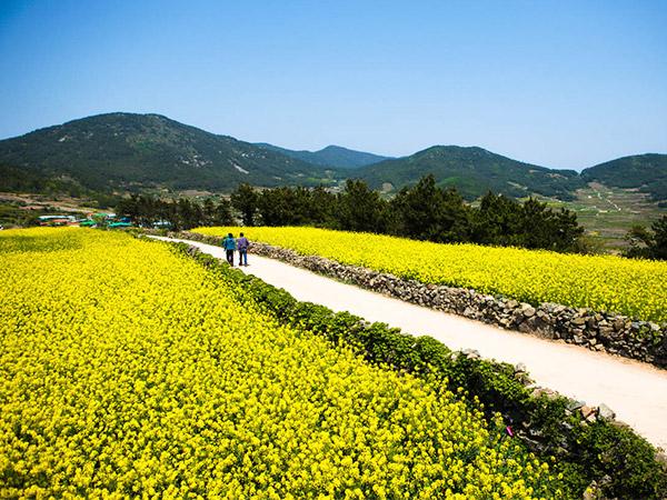 Tak Hanya Cherry Blossom, Bunga Cantik Ini Juga Warnai Musim Semi Pulau di Korea Selatan