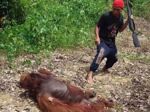 Orangutan di Kalteng Dibunuh dan Dimasak, 10 Orang Terduga Pelaku Ditangkap