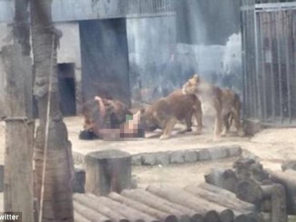 Lakukan Hal Gila, Pria Ini Lemparkan Diri Ke Kandang Singa Karena Takut Kiamat