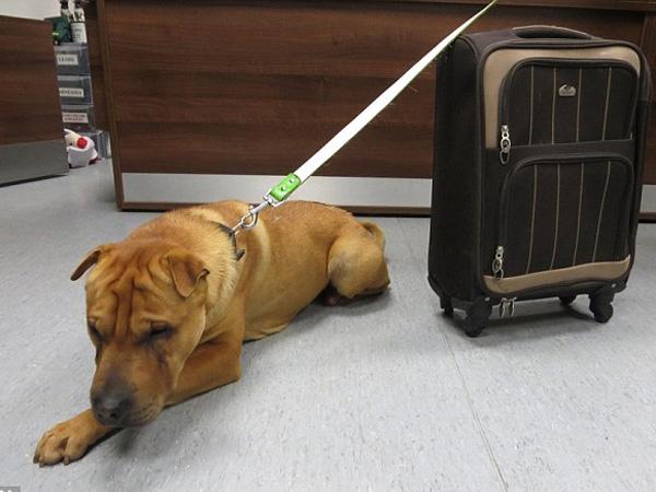 Kai, Anjing yang Dibuang di Stasiun Oleh Majikannya Hanya dengan Koper Berisi Bantal
