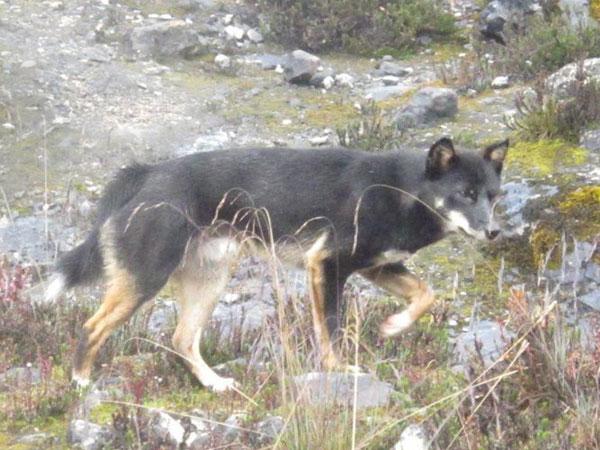 Penampakan Anjing Spesies Baru di Papua Ini Dari Legenda Pemakan Jantung Manusia?