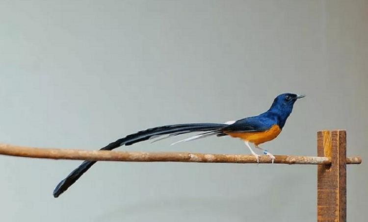 Cara Memelihara Burung Murai Batu Agar Cepat Gacor