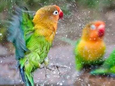 Cara Memelihara Lovebird Agar Rajin Berkicau Hingga Ngekek Panjang